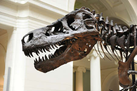 sue: CHICAGO, IL - MARCH 23: Detail of T. Rex called Sue at the Field Museum of Natural History on March 23, 2012 in Chicago, Illinois