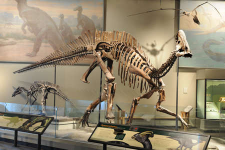lizard in field: CHICAGO, IL - 23 de marzo: El esqueleto de Parasaurolophus en el Museo Field de Historia Natural el 23 de marzo de 2012 en Chicago, Illinois