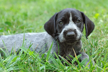 short haired: German Short Haired Pointer puppy laying on the grass
