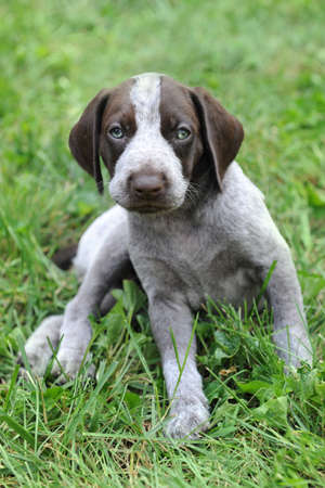 haired: German Short Haired Pointer puppy laying on the grass