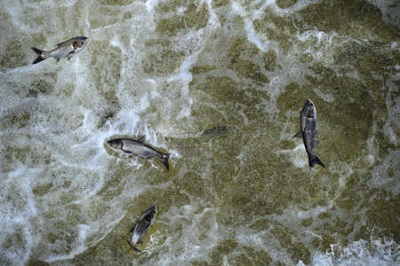 cyprinidae: Invasive Asian carp in the tailwaters of Bagnell Dam on the Osage River that makes the lake of the Ozarks