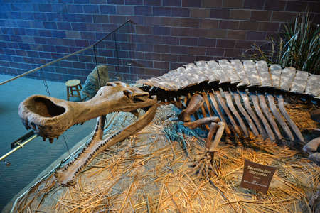 indianapolis: INDIANAPOLIS, IN - JULY 22: Sarcosuchus skeleton at the Childrens Museum of Indianapolis on July 22, 2014 in Indianapolis Indiana