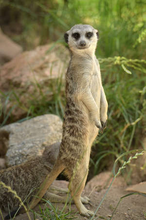 Meerkat on the lookout standing on hind legs
