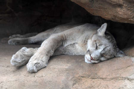 Young Mountain lion resting at entrance of cave