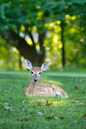 whitetailed: White tailed fawn resting on grass during late afternoon Stock Photo