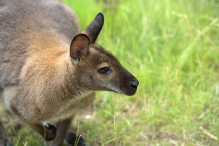 Australian wallaby looking  intently over green background
