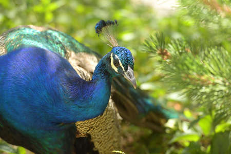 male animal: Head of peacock over green background