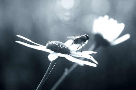 daisie: Una mosca su una margherita guarda lontano