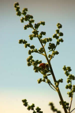 umbel: Close-up of a ladybug  Coccinellidae , who sits on a green umbel                     Stock Photo