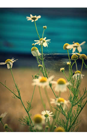 cereal box: Daisies in front of a cereal box and a striking colored container   Cobwebs between the flowers shine cause of the light
