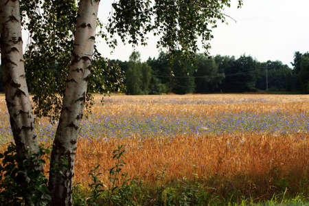 A birch tree by the roadside, behind a corn field with cornflowers                  Stock Photo - 15025422