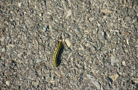 The photograph of a yellow-black striped caterpillar  Calophasia lunula  on a sidewalk Stock Photo - 15363735