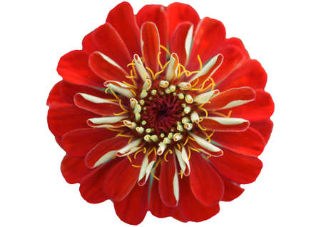 exempted: The macro close-up of the red flower of a Zinnia  The bloom was exempted