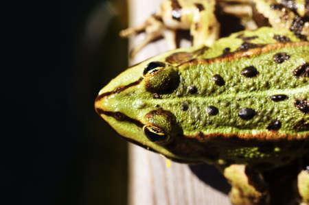 bassin jardin: Photographie d'une grenouille d'arbre, qui se trouve au bord d'un �tang de jardin Banque d'images
