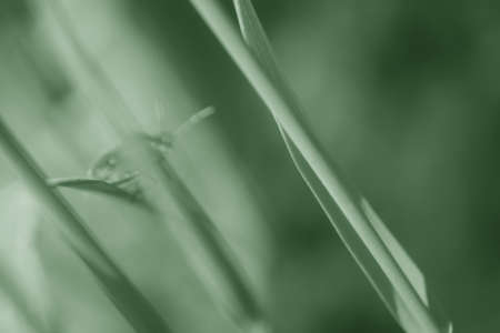 Beetle  Green stink bug  hidden behind reed grass  Picture drawn in monochrome and soft                   photo