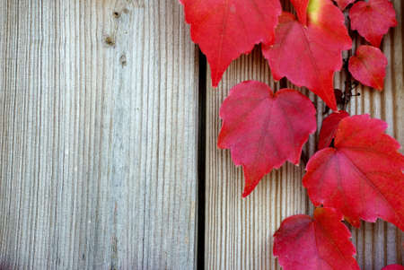 delightfully: The photograph of wine leaves in the fall climbed up on a wooden wall