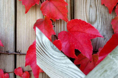 delightfully: The photograph of wine leaves in the fall climbed up on a wooden wall                        Stock Photo