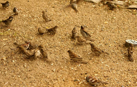 domesticus: Sparrows, Passer domesticus, during the feeding