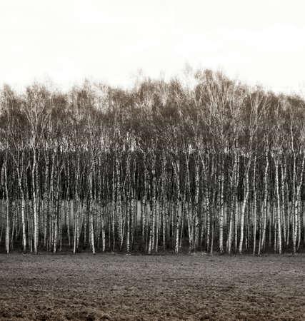 revestimientos: Fila fotograf�a blanco y negro de los �rboles de abedul, como resultado niveles paisaje y capas Foto de archivo