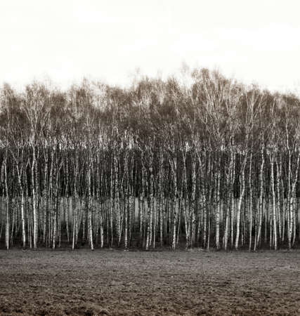 coatings: Monochrome photography  Row of birch trees, as a result, landscape levels and layers