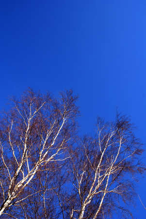 strikingly: Birch branches before a strikingly blue background