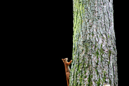 extracted: A squirrel climbs up a tree