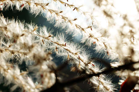 reflektion: The macro photograph of the giving off fluff of a dry plant, pampas grass  Cortaderia selloana