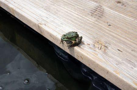 bassin jardin: Admission d'une grenouille feuillage qui se trouve au bord d'un �tang de jardin
