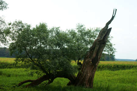 midst: A withered tree in the midst of a floodplain