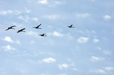 migrant: The photograph of swans during the flight                    Stock Photo