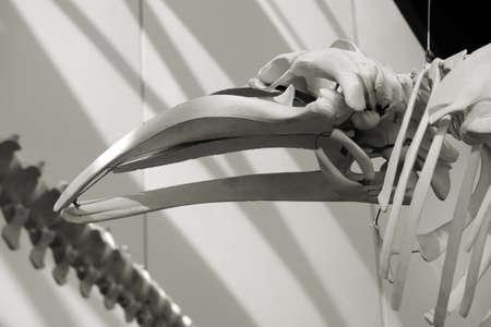 baleen whale: Stralsund, Mecklemburgo-Pomerania Occidental  Alemania 05 de abril: El esqueleto de una ballena barbada del alem�n mar museo Ozeanum el 05 de abril 2013 en Stralsund. Editorial