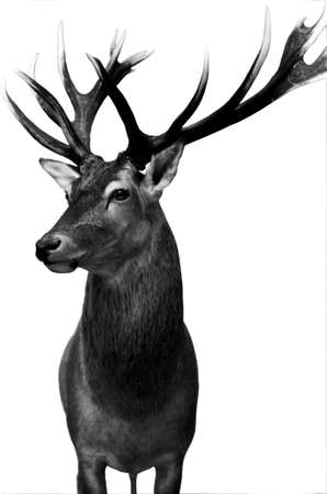 red deer: The photograph of an isolated deer preparation