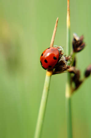 coccinellidae: The close-up of a ladybug  Coccinellidae  who is climbing of a blade of grass