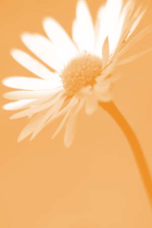 homogeneous: The close-up of a daisy in front of a homogeneous background                     Stock Photo