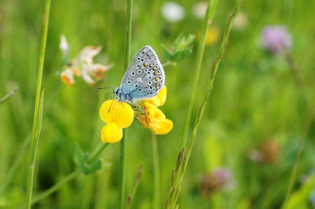 polyommatus: A butterfly, Polyommatus bellargus photographed in a meadow