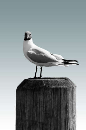 chroicocephalus: The closeup of a seagull standing on a wooden beam
