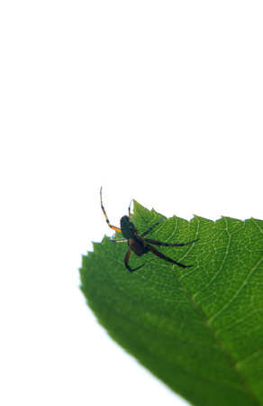 aracnidos: El primer plano de una ara�a, Araniella cucurbitina, fotografiado en luz de fondo Foto de archivo