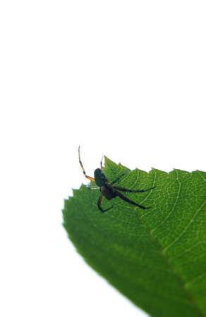 cucurbitina: The close up of a  spider, Araniella cucurbitina , photographed in backlight
