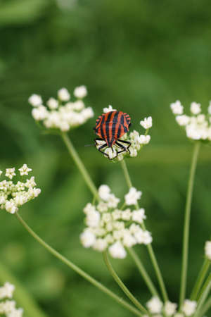 graphosoma: The macro closeup of a Graphosoma lineatum