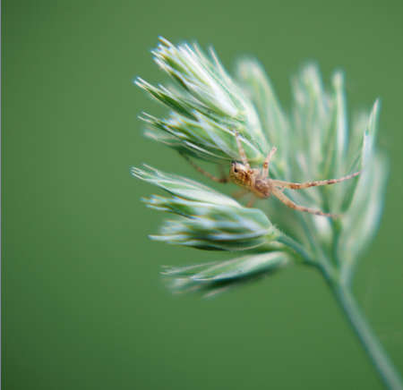 Spider hiding between the leaves of a grass panicle                 photo