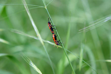 copulation: Fire bug on a blade of grass during copulation