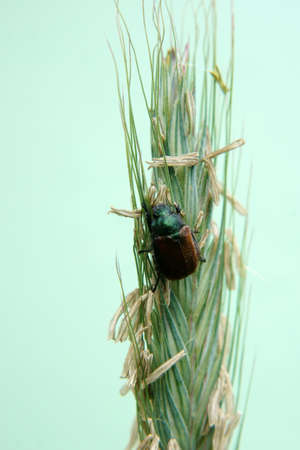 A colorful, shiny metallic beetle, garden chafer, on an ear of corn                         photo