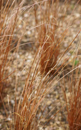 carex: The close-up of grasses, Carex, on a stony ground