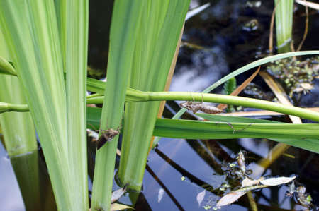 chitin: The stripped chitin armor of an insect, dragonfly, between grasses