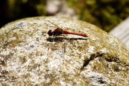 darter: The macro closeup of a large dragonfly, the Common Darter               Stock Photo
