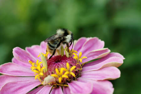 bombus: The close-up of a bumblebee foraging             Stock Photo