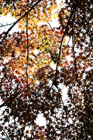 The photograph of the tree crown and the roof of Japanese maple leave in autumn Stock Photo - 23187394