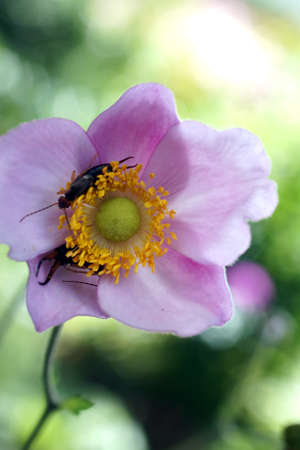 The macro photograph of an Japanese anemone flower with hiding earwigs