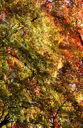 The photograph of the tree crown and the roof of Japanese maple leave in autumn Stock Photo - 23191913