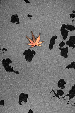 red maple leaf: The close up of a red maple leaf fallen on a rainy granite stone                     Stock Photo